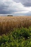 Drastisches Gersten-Feld mit stürmischem Himmel zur Ernte-Zeit Lizenzfreies Stockbild