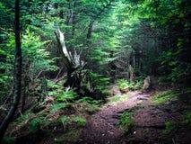 Drastisches Licht auf einem Blitz schlug Baum in einer Waldreinigung Stockbild