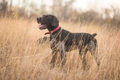 Drathaar, σκυλί κυνηγιού, γερμανικό σκυλί Piggy στοκ εικόνα με δικαίωμα ελεύθερης χρήσης