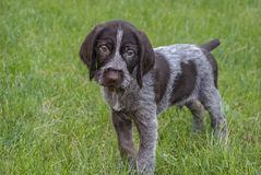 The puppy stands on the green grass and looks with sad eyes royalty free stock images