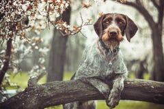 Dratxaar dog stock image