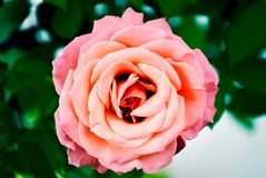 Draufsicht closup von einer Rose in einem Garten stockfotografie
