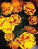 Draufsicht der Blume der französischen Ringelblume Tagetes-patula Lizenzfreie Stockfotos