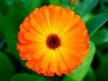 Draufsicht der Calendulablume Stockfotos