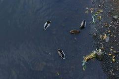 Draufsicht der Enten im Wasser stockbild