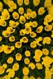 Draufsicht der gelben Tulpen stockbilder