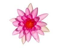 Draufsicht der hellen rosafarbenen Wasserlilienblume Stockbild