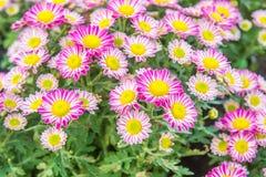 Draufsicht der Mun-Blumen-Hintergrund des Floristen, rosa und weißem flowe Stockfotos
