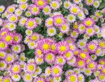 Draufsicht der Mun-Blumen-Hintergrund des Floristen, rosa und weißem flowe Lizenzfreies Stockbild