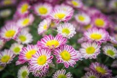 Draufsicht der Mun-Blumen-Hintergrund des Floristen, rosa und weißem flowe Lizenzfreie Stockfotografie