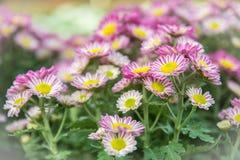 Draufsicht der Mun-Blumen-Hintergrund des Floristen, rosa und weißem flowe Stockfoto