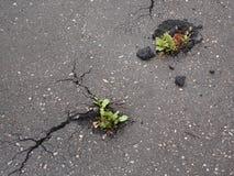 Draufsicht der Nahaufnahme der Grünpflanze wächst durch Asphalt stockfotografie
