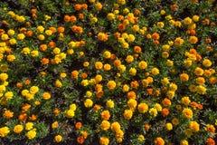 Draufsicht der Nahaufnahme von tagetes oder von buntem Blumenbeet der Ringelblume Lizenzfreie Stockfotos