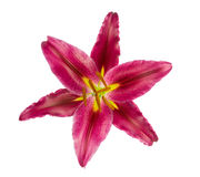 Draufsicht der orientalischen Lilie auf Weiß Lizenzfreies Stockfoto