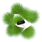 draufsicht der palme im schwarzen topf lokalisiert auf wei stockfotos bild 31173503. Black Bedroom Furniture Sets. Home Design Ideas