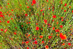 Draufsicht der roten Mohnblumen Lizenzfreies Stockbild