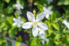 Draufsicht der schönen und netten kleinen weißen Blume auf unscharfem Betriebshintergrund stockbild
