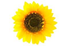 Draufsicht der Sonnenblume Stockbild