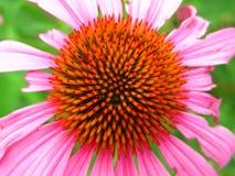Draufsicht der vibrierenden purpurroten Kegel-Blume Stockbild