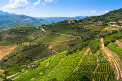 Draufsicht der Weinberge sind auf Hügel Lizenzfreie Stockbilder
