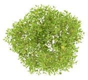Draufsicht des Birnenbaums mit den Birnen lokalisiert auf Weiß Stockfotos