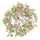 Draufsicht des blühenden Pflaumenbaums lokalisiert auf Weiß Stockfoto