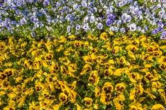 Draufsicht des bunten horizontalen Blumenbeets gemacht vom Blau und vom yello Stockfotografie