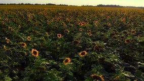 Draufsicht des Feldes der Sonnenblumen stock footage