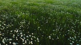 Draufsicht des Feldes der wilden Kamille schu? Weiße Kamillenblumen werden auf grünem Hintergrund des Sommerfeldes gesehen Enorme stock video