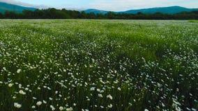 Draufsicht des Feldes der wilden Kamille schu? Weiße Kamillenblumen werden auf grünem Hintergrund des Sommerfeldes gesehen Enorme stock footage
