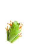 Draufsicht des Frosches getrennt Lizenzfreie Stockfotografie