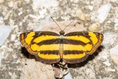 Draufsicht des gemeinen lascar Schmetterlinges Stockfotos
