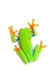 Draufsicht des grünen Frosches getrennt auf Weiß Stockbilder