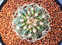 Draufsicht des Kaktus Stockfoto