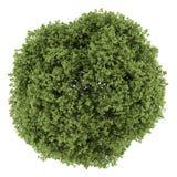 Draufsicht des Klein-leaved Limettenbaums lokalisiert auf Weiß vektor abbildung
