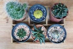 Draufsicht des kleinen Kaktus im Topf mit hölzernem Hintergrund Lizenzfreie Stockfotos