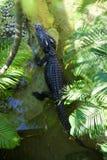 Draufsicht des Krokodils Lizenzfreie Stockfotografie
