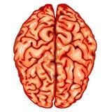 Draufsicht des menschlichen Gehirns Lizenzfreie Stockfotos