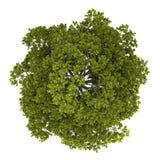 Draufsicht des Norwegen-Ahornholzbaums getrennt auf Weiß Lizenzfreies Stockfoto