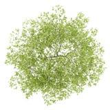 Draufsicht des Pfirsichbaums lokalisiert auf Weiß Lizenzfreie Stockfotografie