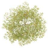 Draufsicht des Pfirsichbaums mit den Pfirsichen lokalisiert auf Weiß Stockfoto