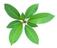 Draufsicht des Pflänzchens, grünes frisches Blatt auf Mittelgruppe verzweigt sich, der weiße lokalisierte Hintergrund Stockfoto