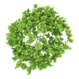Draufsicht des Pflaumenbaums lokalisiert auf Weiß Lizenzfreies Stockbild