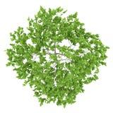 Draufsicht des Pflaumenbaums lokalisiert auf Weiß Stockfotografie
