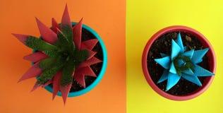 Draufsicht des Rosas und der blauen zwei Succulents lizenzfreies stockfoto