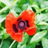 Draufsicht des roten Mohnblumenblumenabschlusses oben Stockbild