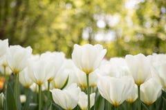 Draufsicht des sch?nen Feldes der wei?en Tulpen stockbilder