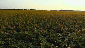 Draufsicht des Sonnenblumenfelds im cuntryside stock video
