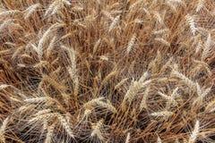 Draufsicht des Weizens Stockfotos