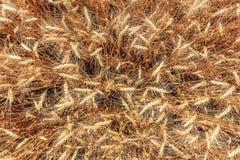 Draufsicht des Weizens Stockfoto